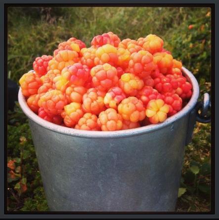 Finnmarks gull! Multebær av beste kvalitet